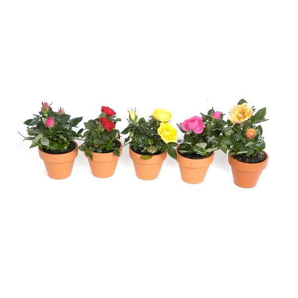 Bloeiende plantjes in terracotta potjes