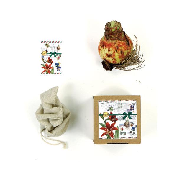 Amaryllis kerstdoosje geschenk