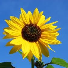 Van Gogh zonnebloemen pakket